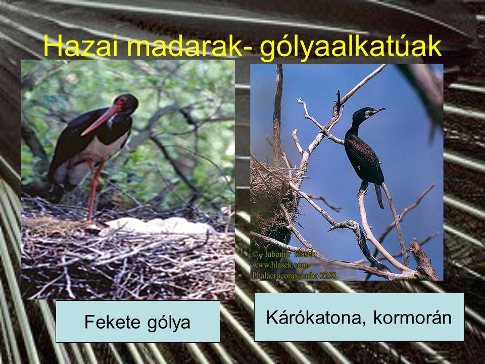 Hazai madarak- gólyaalkatúak