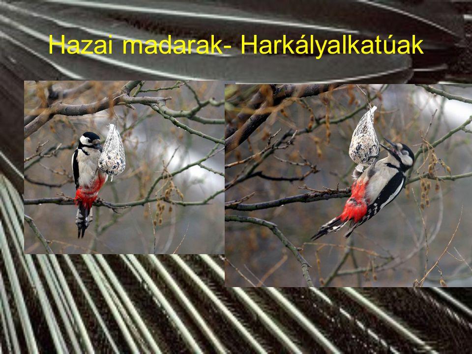 Hazai madarak- Harkályalkatúak