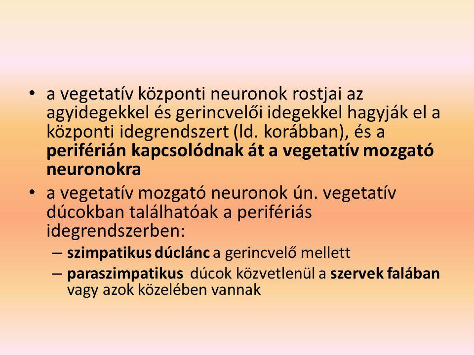 a vegetatív központi neuronok rostjai az agyidegekkel és gerincvelői idegekkel hagyják el a központi idegrendszert (ld. korábban), és a periférián kapcsolódnak át a vegetatív mozgató neuronokra