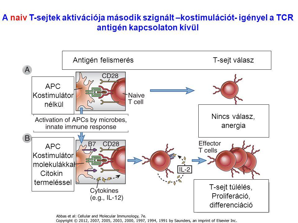 A naiv T-sejtek aktivációja második szignált –kostimulációt- igényel a TCR antigén kapcsolaton kívül