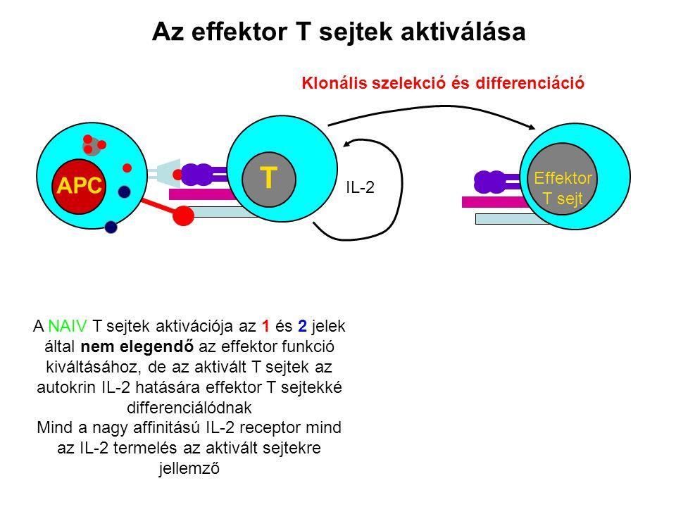 Az effektor T sejtek aktiválása