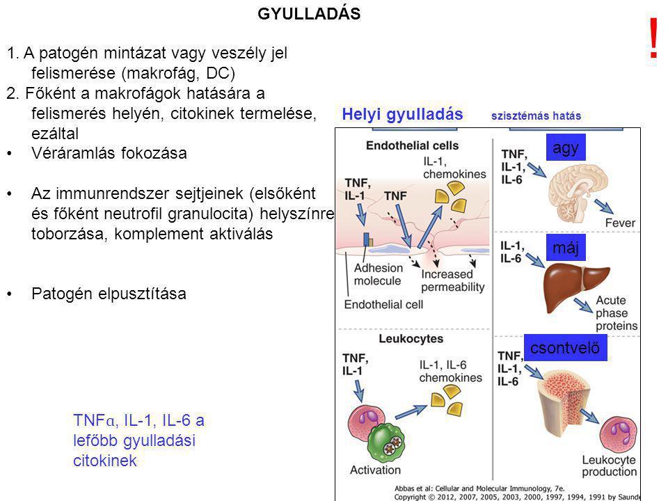 GYULLADÁS ! 1. A patogén mintázat vagy veszély jel felismerése (makrofág, DC)