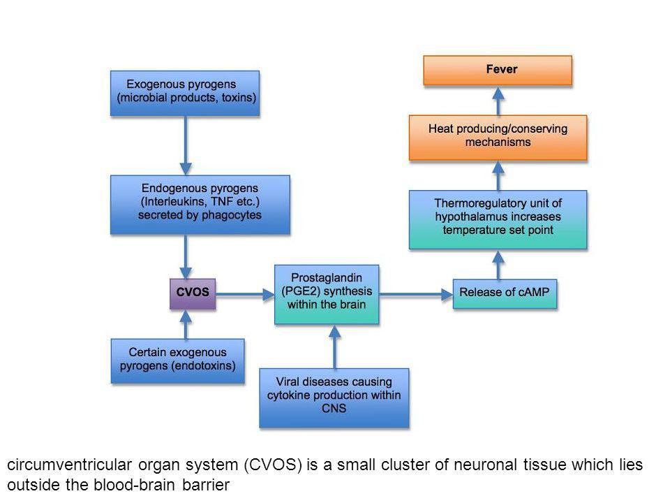 circumventricular organ system (CVOS) is a small cluster of neuronal tissue which lies outside the blood-brain barrier