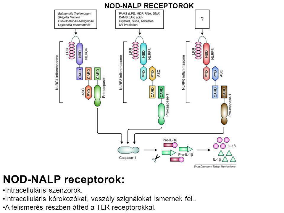 NOD-NALP receptorok: NOD-NALP RECEPTOROK Intracelluláris szenzorok.
