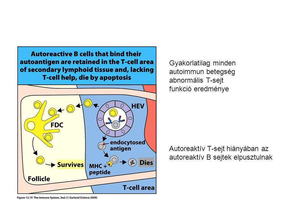 Gyakorlatilag minden autoimmun betegség. abnormális T-sejt. funkció eredménye. Autoreaktív T-sejt hiányában az.
