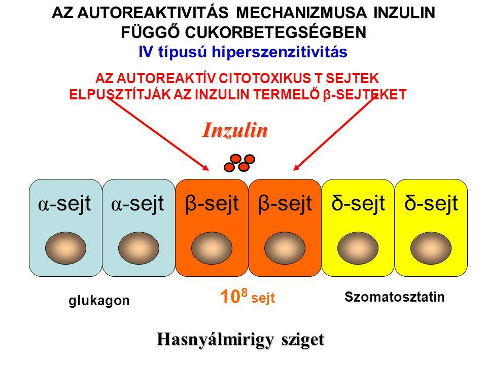 Inzulin β-sejt δ-sejt α-sejt 108 sejt Hasnyálmirigy sziget