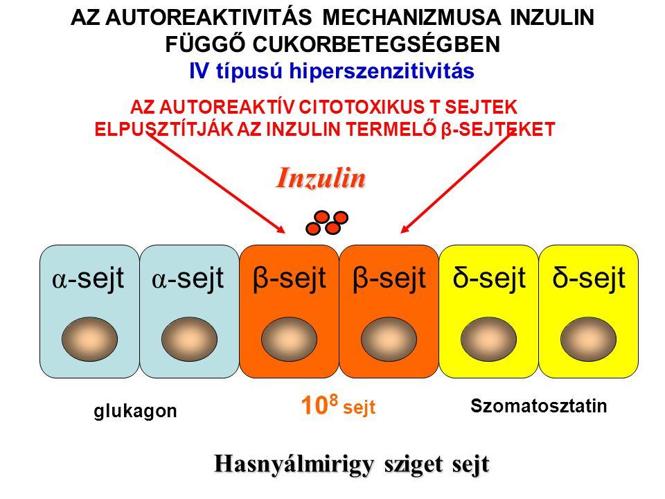 Inzulin β-sejt δ-sejt α-sejt 108 sejt Hasnyálmirigy sziget sejt