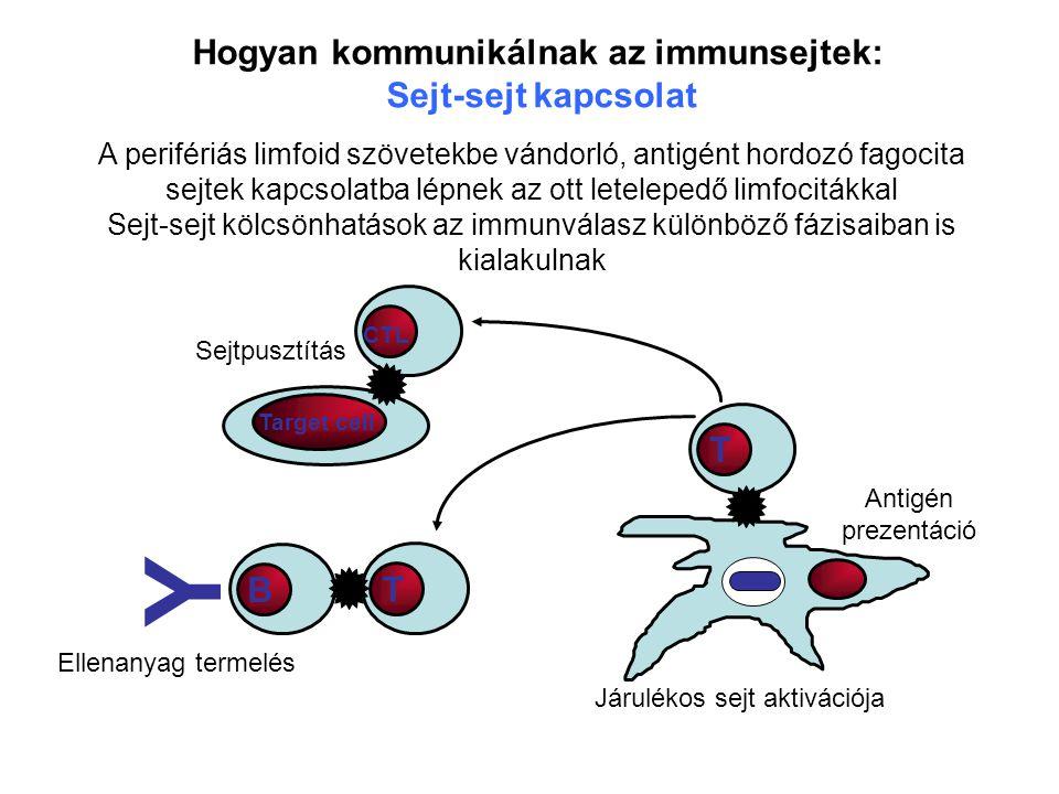 Y Hogyan kommunikálnak az immunsejtek: Sejt-sejt kapcsolat T B T
