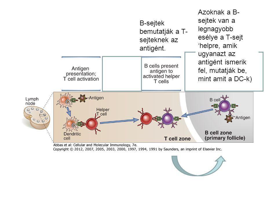 Azoknak a B-sejtek van a legnagyobb esélye a T-sejt 'helpre, amik ugyanazt az antigént ismerik fel, mutatják be, mint amit a DC-k)