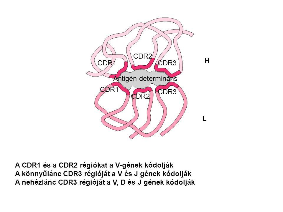 CDR2 H. CDR1. CDR3. Antigén determináns. CDR1. CDR3. CDR2. L. A CDR1 és a CDR2 régiókat a V-gének kódolják.