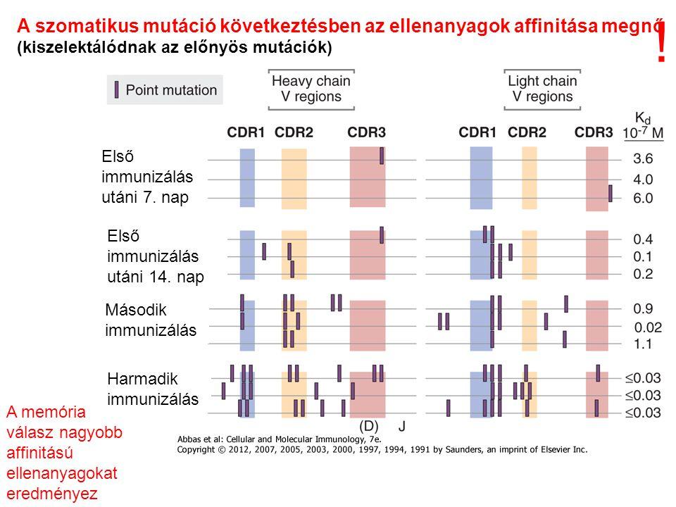 ! A szomatikus mutáció következtésben az ellenanyagok affinitása megnő