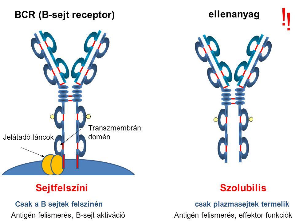 ! ! BCR (B-sejt receptor) ellenanyag Sejtfelszíni Szolubilis
