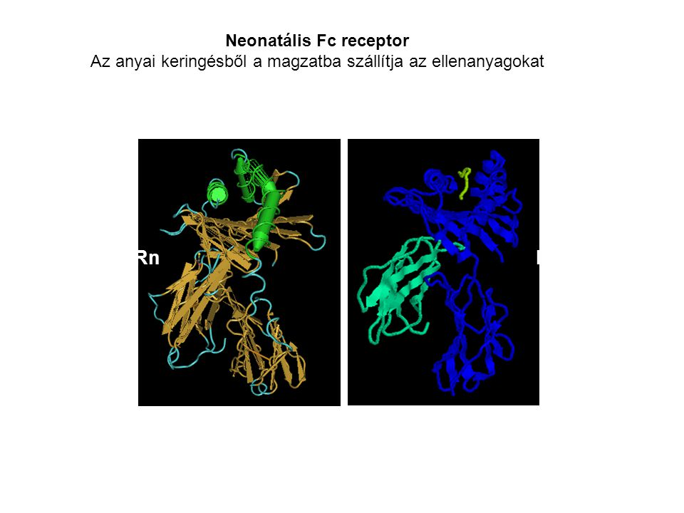 Az IgG placentális transzportja A neonatális Fc receptor