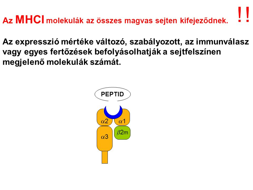 ! ! Az MHCI molekulák az összes magvas sejten kifejeződnek.