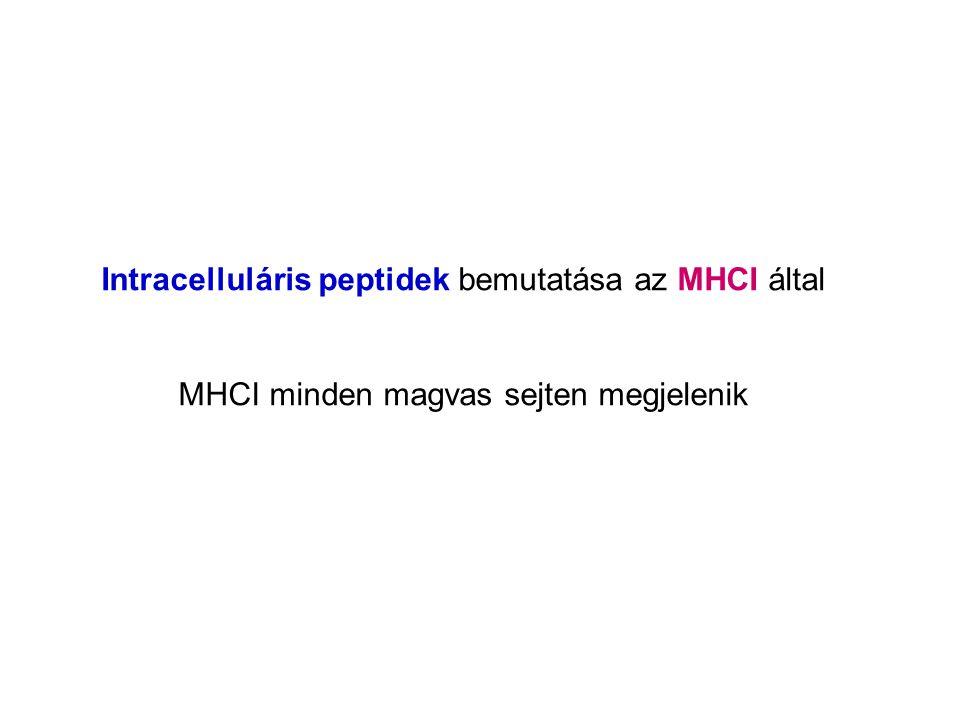 Intracelluláris peptidek bemutatása az MHCI által