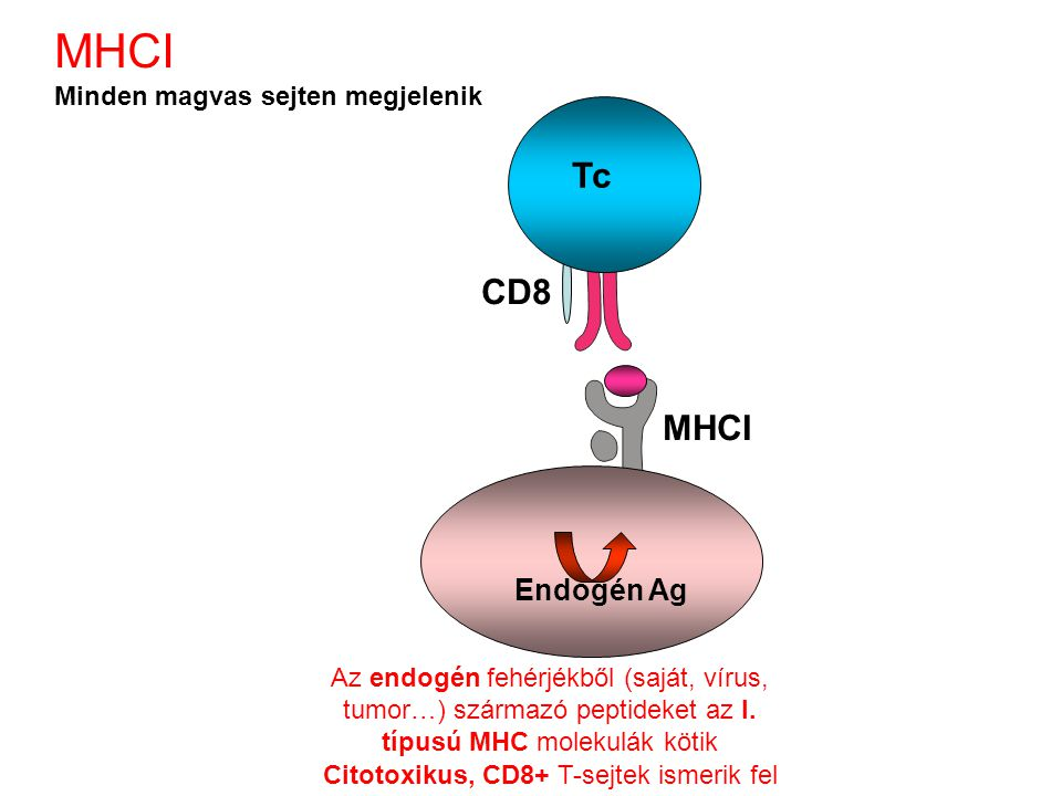 Citotoxikus, CD8+ T-sejtek ismerik fel