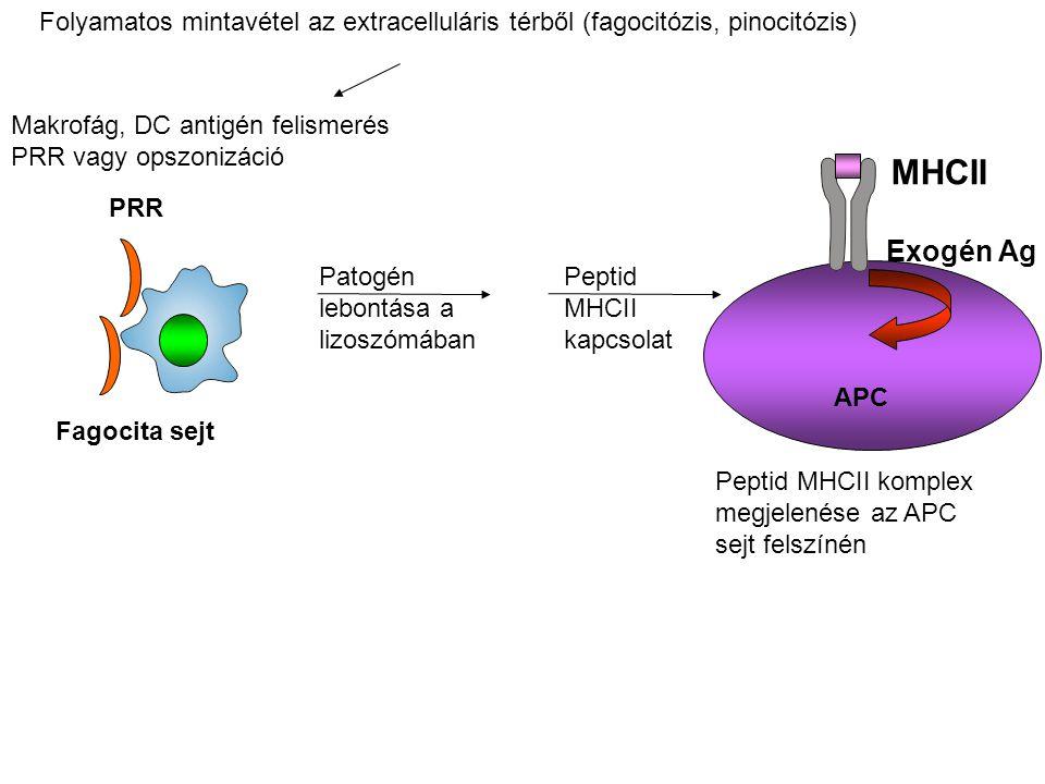 Folyamatos mintavétel az extracelluláris térből (fagocitózis, pinocitózis)