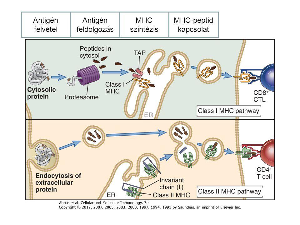 Antigén felvétel Antigén feldolgozás MHC szintézis MHC-peptid kapcsolat