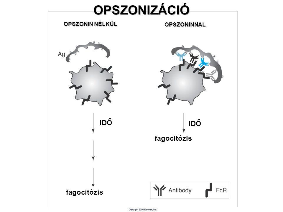 OPSZONIZÁCIÓ IDŐ IDŐ fagocitózis fagocitózis OPSZONIN NÉLKÜL