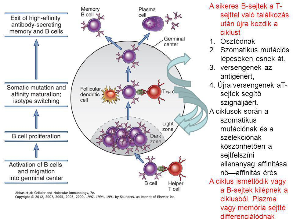 A sikeres B-sejtek a T-sejttel való találkozás után újra kezdik a ciklust
