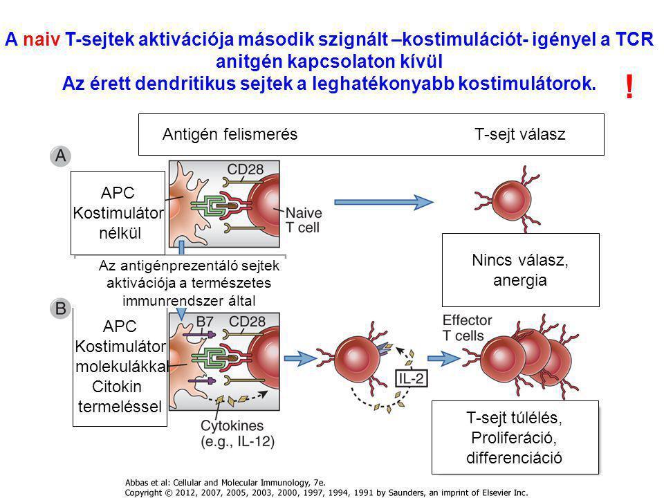 Az érett dendritikus sejtek a leghatékonyabb kostimulátorok.