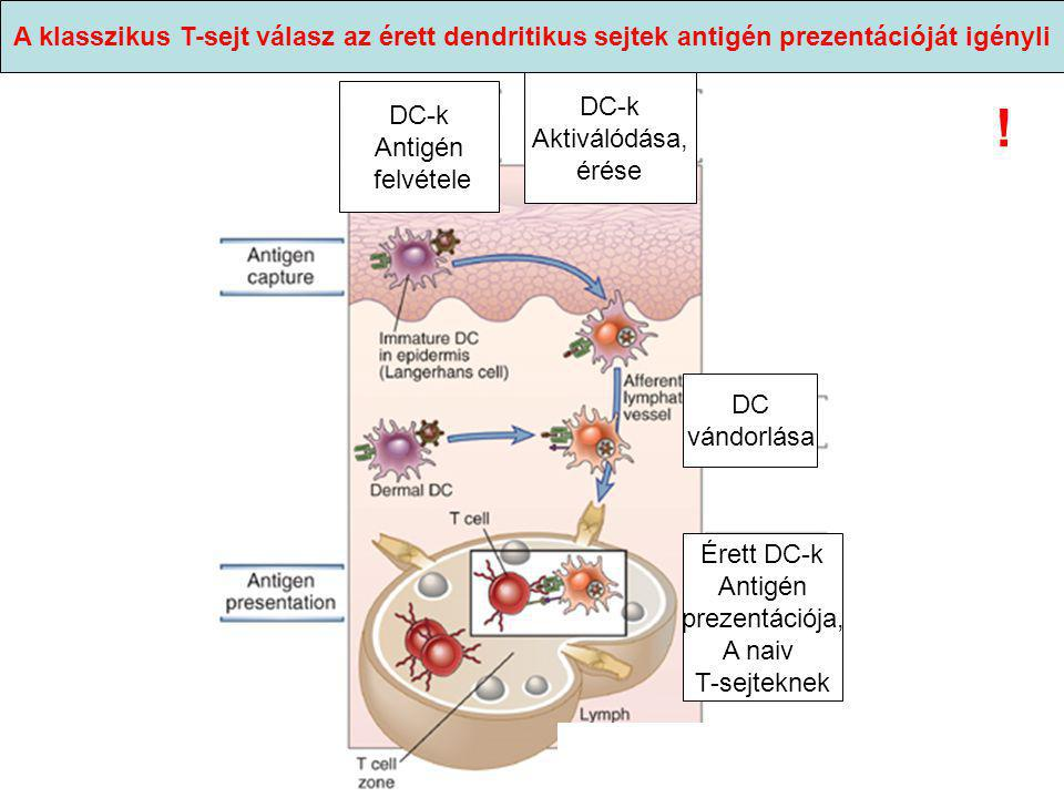 A klasszikus T-sejt válasz az érett dendritikus sejtek antigén prezentációját igényli