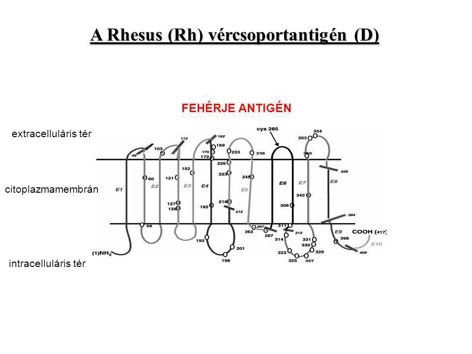 A Rhesus (Rh) vércsoportantigén (D)
