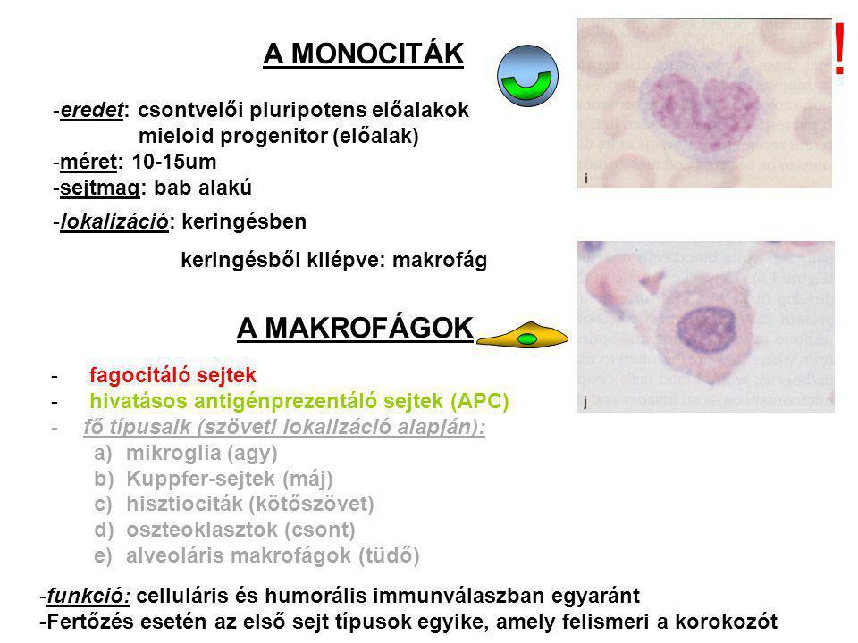 ! A MONOCITÁK A MAKROFÁGOK eredet: csontvelői pluripotens előalakok