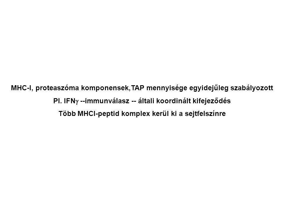 MHC-I, proteaszóma komponensek,TAP mennyisége egyidejűleg szabályozott