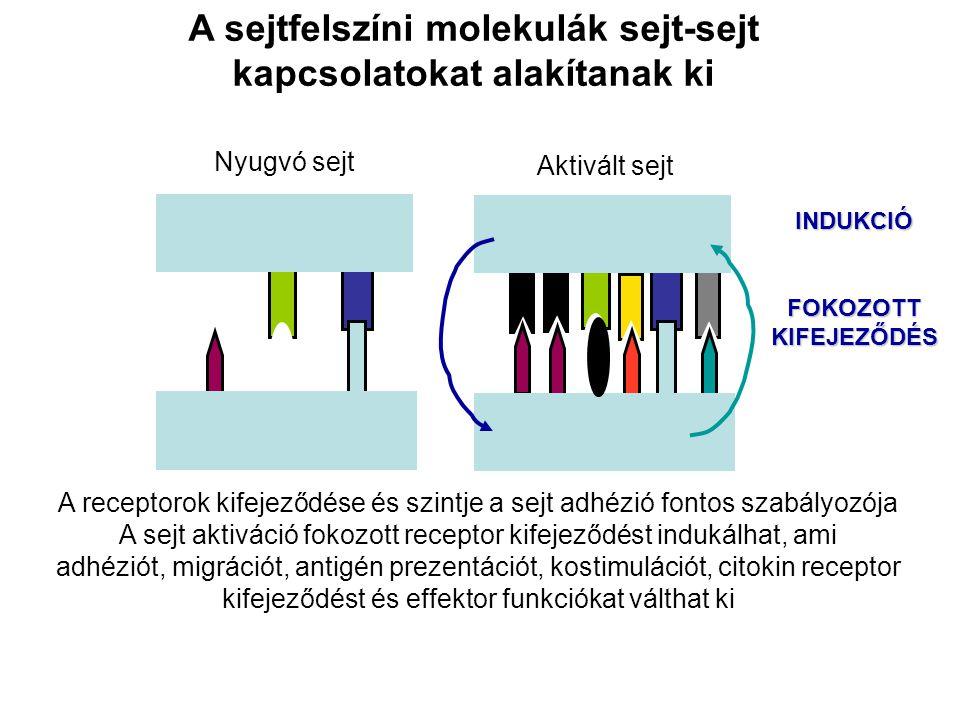 A sejtfelszíni molekulák sejt-sejt kapcsolatokat alakítanak ki