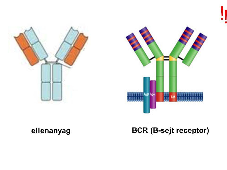 ! ! ellenanyag BCR (B-sejt receptor)