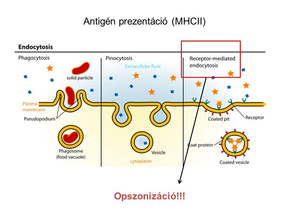 Antigén prezentáció (MHCII)