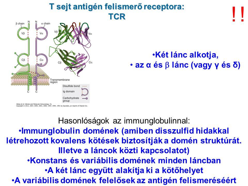 ! ! T sejt antigén felismerő receptora: TCR Két lánc alkotja,