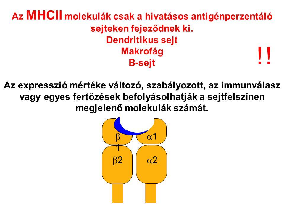 Az MHCII molekulák csak a hivatásos antigénperzentáló sejteken fejeződnek ki.