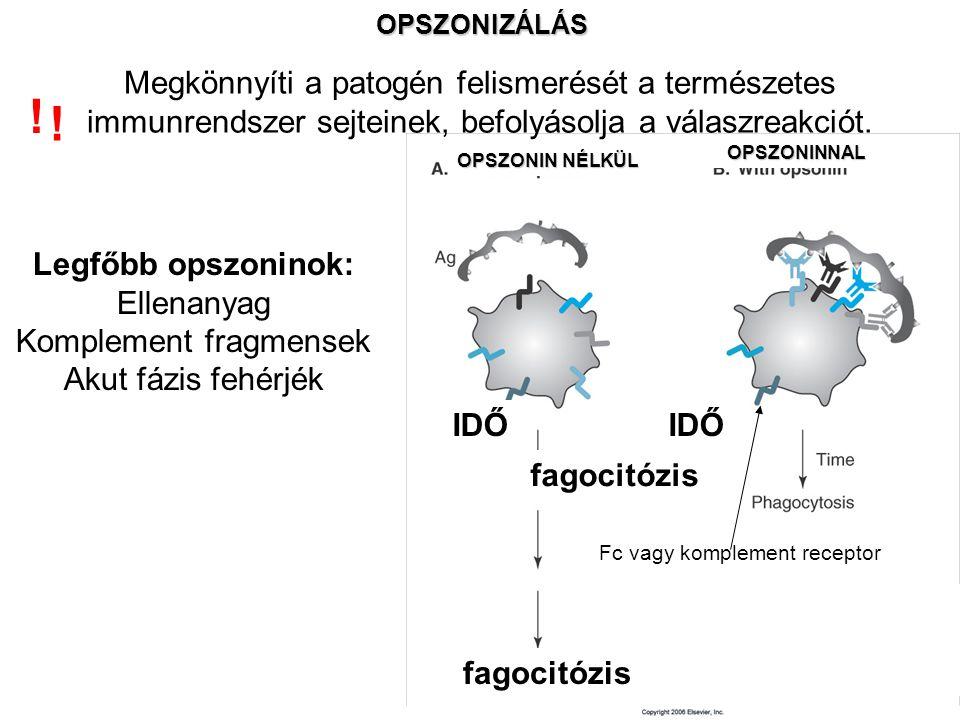 OPSZONIZÁLÁS Megkönnyíti a patogén felismerését a természetes immunrendszer sejteinek, befolyásolja a válaszreakciót.