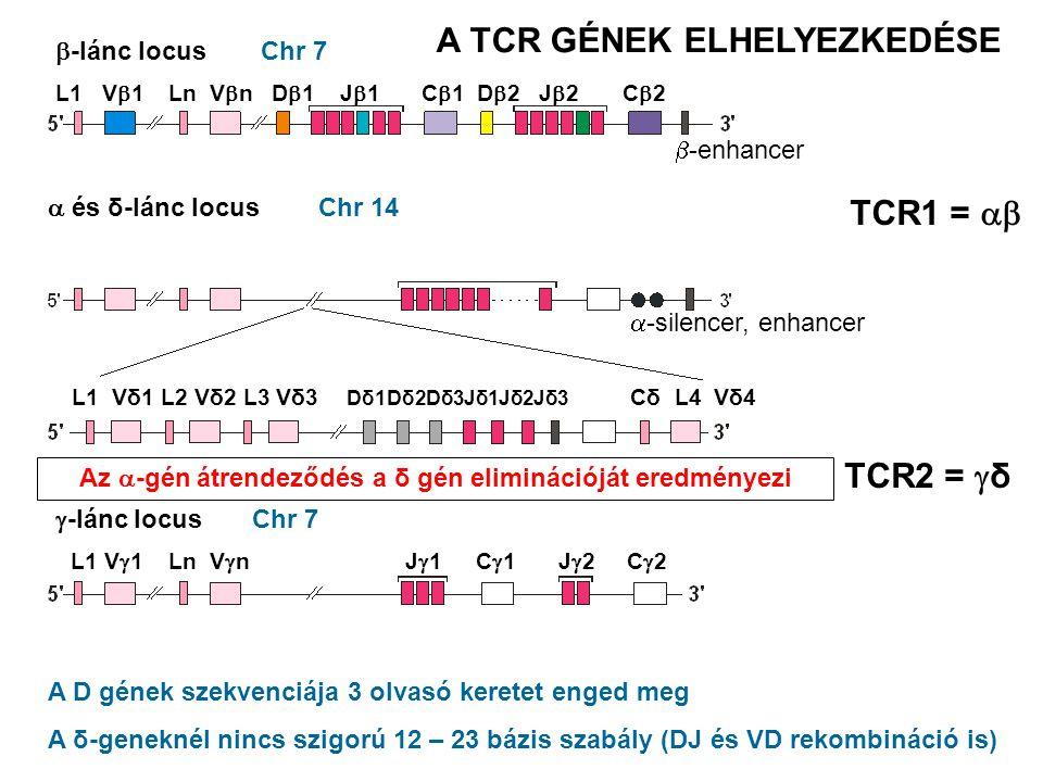 A TCR GÉNEK ELHELYEZKEDÉSE TCR1 =  TCR2 = δ