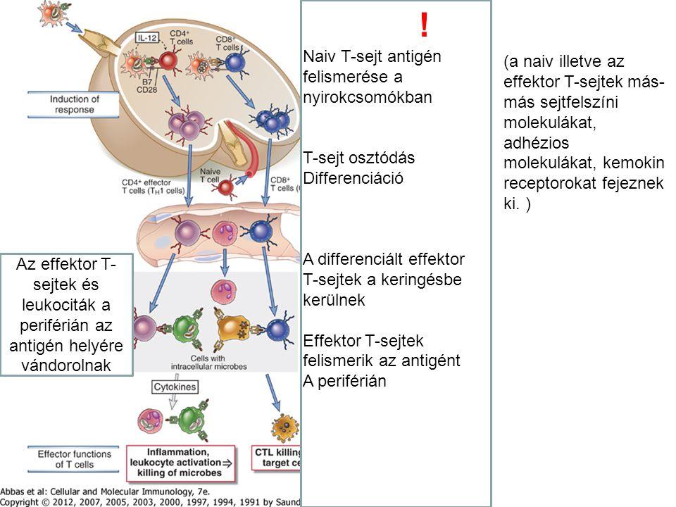 ! Naiv T-sejt antigén felismerése a nyirokcsomókban