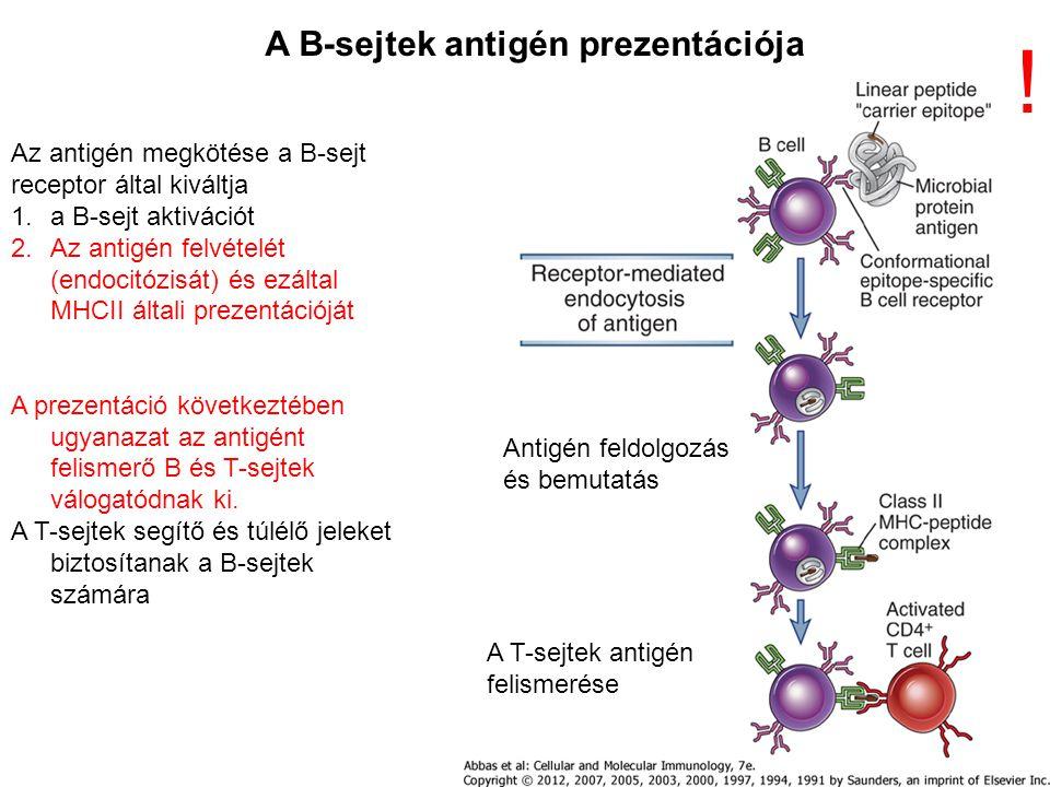! A B-sejtek antigén prezentációja