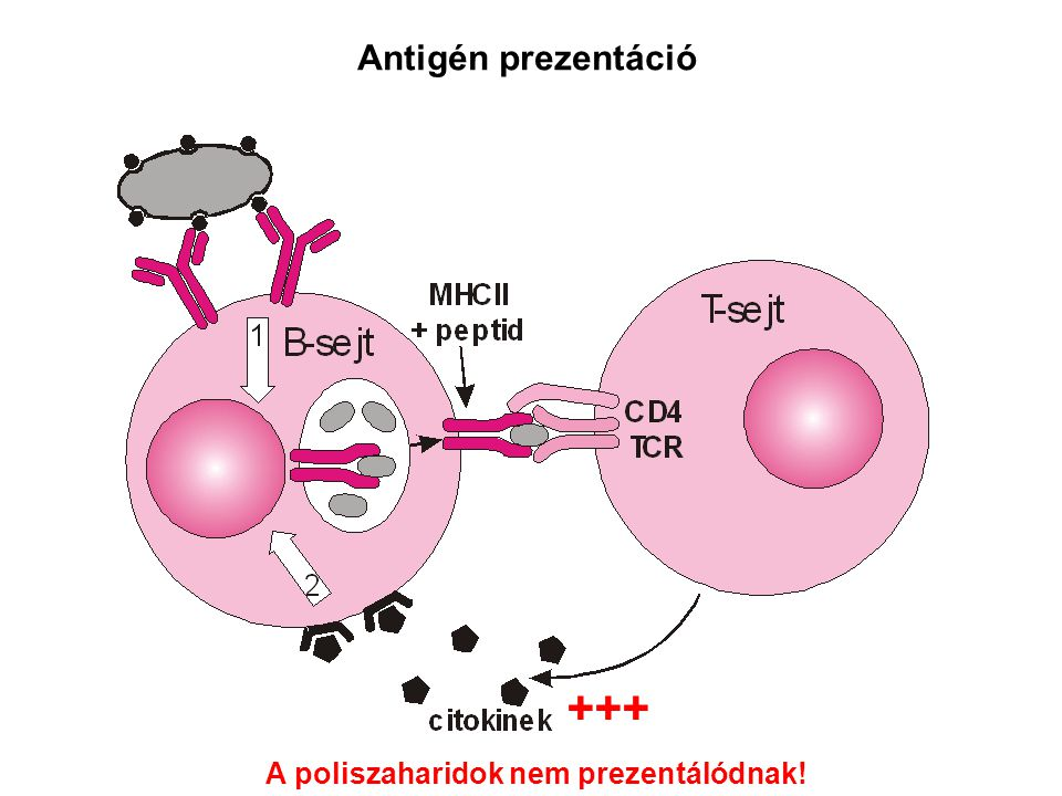 +++ Antigén prezentáció A poliszaharidok nem prezentálódnak!