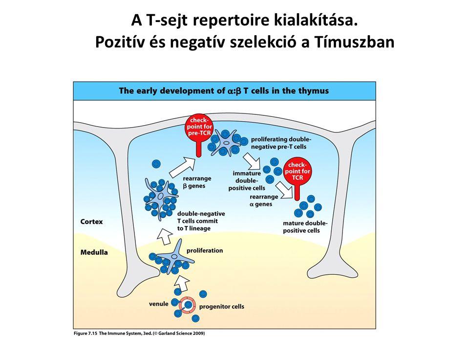 A T-sejt repertoire kialakítása.