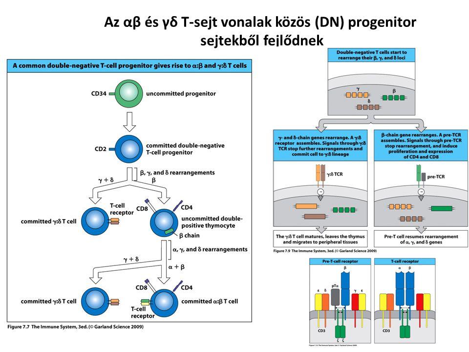 Az αβ és γδ T-sejt vonalak közös (DN) progenitor