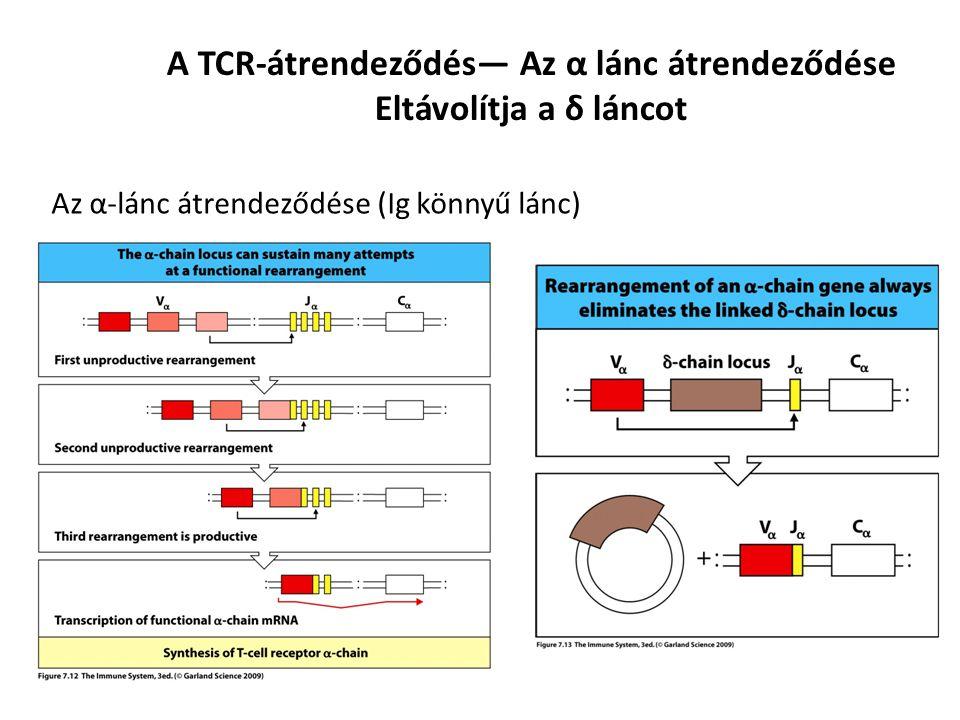 A TCR-átrendeződés— Az α lánc átrendeződése