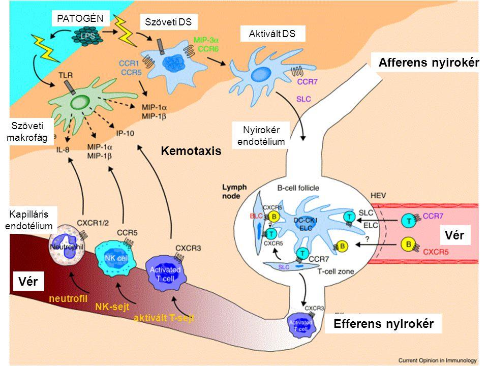 Kapilláris endotélium