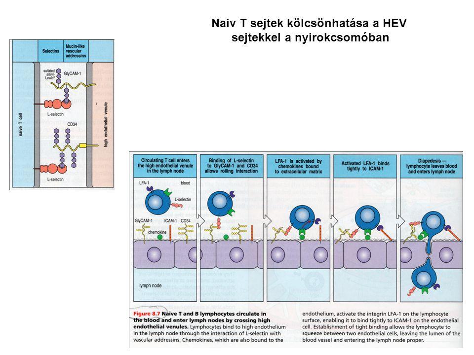 Naiv T sejtek kölcsönhatása a HEV sejtekkel a nyirokcsomóban