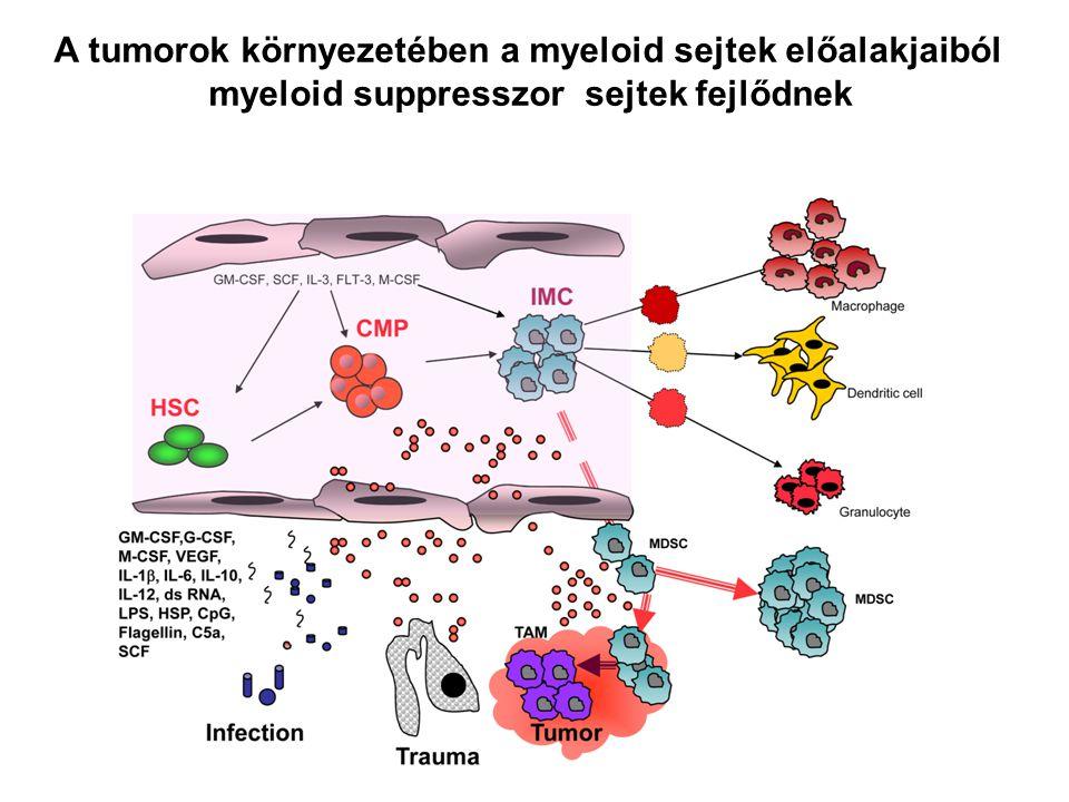 A tumorok környezetében a myeloid sejtek előalakjaiból