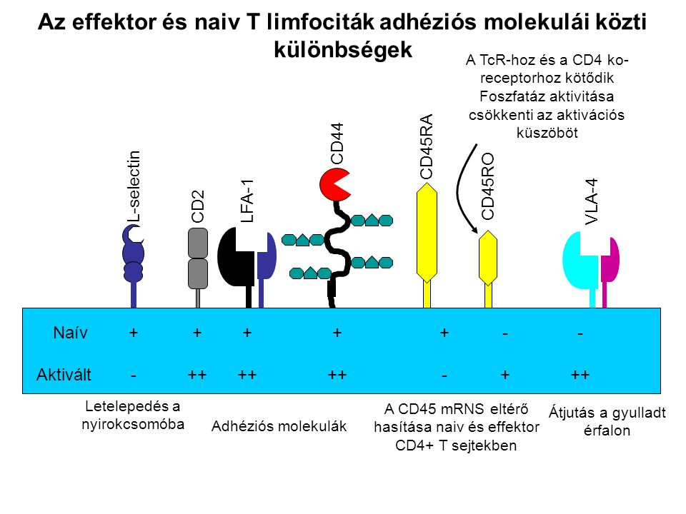 Az effektor és naiv T limfociták adhéziós molekulái közti különbségek