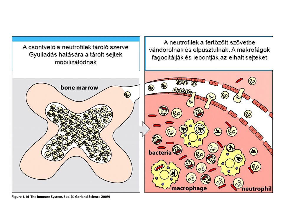 A csontvelő a neutrofilek tároló szerve Gyulladás hatására a tárolt sejtek mobilizálódnak