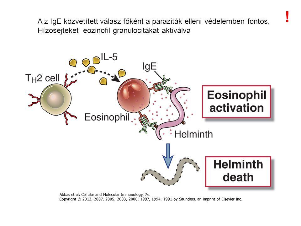 ! A z IgE közvetített válasz főként a paraziták elleni védelemben fontos, Hízosejteket eozinofil granulocitákat aktiválva.