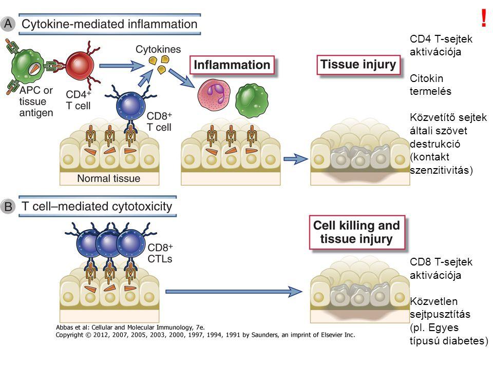 ! CD4 T-sejtek aktivációja Citokin termelés