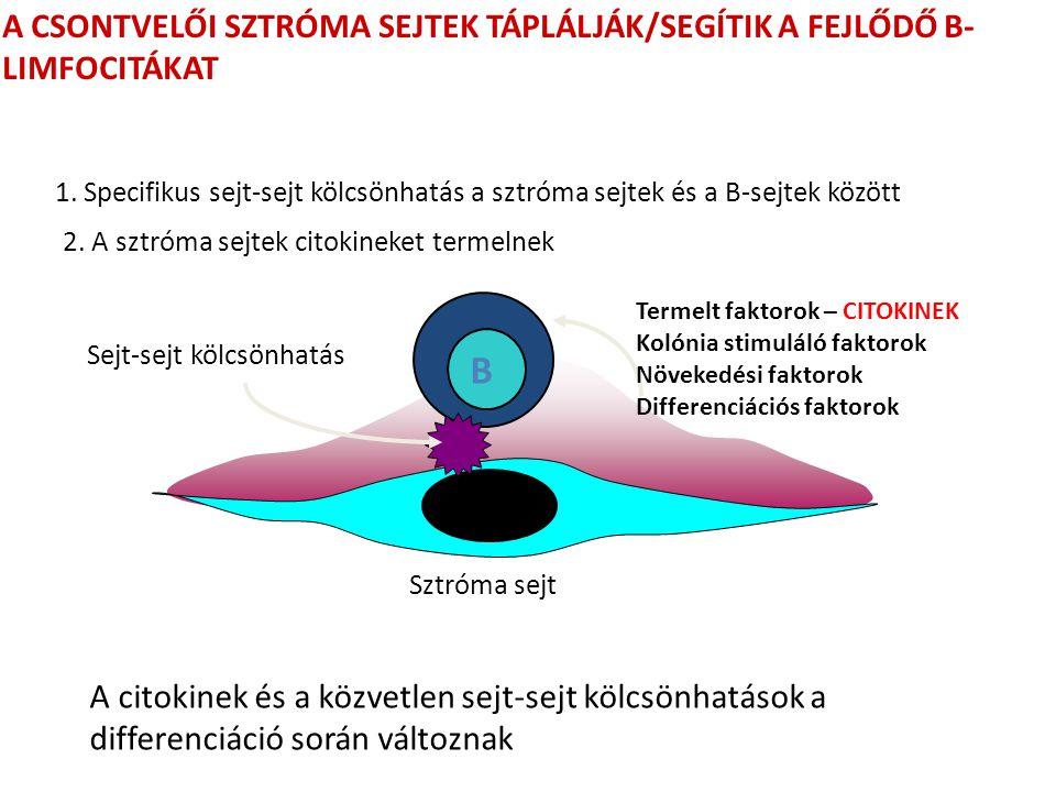 A CSONTVELŐI SZTRÓMA SEJTEK TÁPLÁLJÁK/SEGÍTIK A FEJLŐDŐ B- LIMFOCITÁKAT